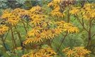 How to Grow Ligularia