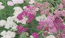 How to Grow Yarrow (Achillea)