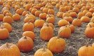How to Harvest & Store Pumpkins