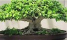 How to Trim a Bonsai