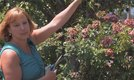 How to Prune Desert Roses