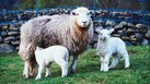 How to Raise Sheep on a Small Acreage for Profit