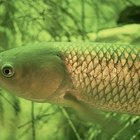 How to Catch a Grass Carp