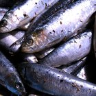 Tips on Using Sardines as Bait for Fishing