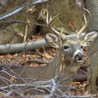 Tips on Finding Shed Whitetail Deer Antlers