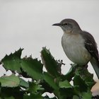 Mockingbirds & Aggressive Behavior