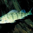 What Do Yellow Perch Eat?