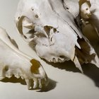 How to Preserve Animal Skulls