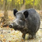Wild Hog Hunting in Missouri