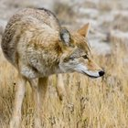 How to Bait & Set Traps for Coyotes