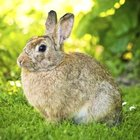 What Physical Adaptations Does a Rabbit Have to Help it Survive in Its Environment?