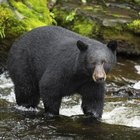 How to Field Dress a Black Bear