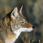 Coyote Hunting Regulations in Alabama