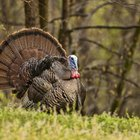 How to Catch a Wild Turkey