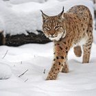 How to Skin a Bobcat