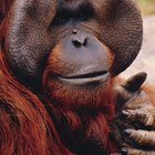 Facts on Apes for Kids