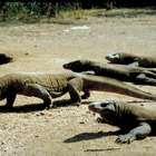 Activities for Third Grade Students to Do on Komodo Dragons