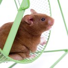 Are Hamsters Safe Animals for Children?