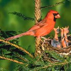 Kids Activities With Cardinals