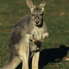Activities for Preschoolers About Kangaroos
