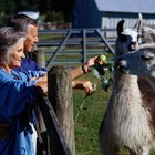 Information on Llamas for Kids