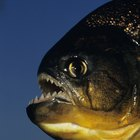 Piranha Fish Facts for Kids