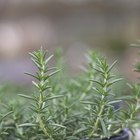 How to Store Fresh Rosemary