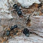 How to Repel Big Black Ants