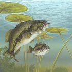 How to Catch a Bass Using Minnows