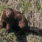 What Is Sheared Mink?