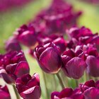 What Is the Meaning of Purple Tulips?