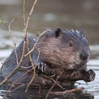 How to Trap Beavers