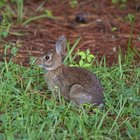 How to Identify Cottontail Rabbits