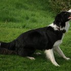 How to Calm a Border Collie