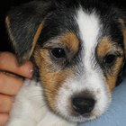 Toy Rat Terrier Information