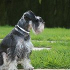 What Are Schnauzers Prone To?