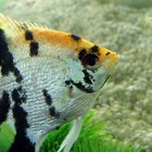 What Types of Cichlids Can Live With Angelfish?