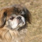Seizures in Pekingese Dogs