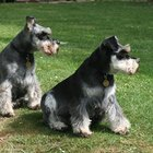 How Big Do Miniature Schnauzers Get?