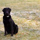 Black Lab Dog Facts