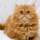 Qualities of a Persian Kitten