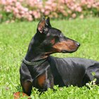 How to Take Care of Doberman Pinscher Ears