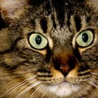 Medications to Help Calm Cats