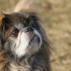 Information on a Chihuahua & Pekingese Mix