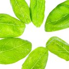 Baby spinach is sweeter tasting than mature spinach.