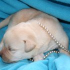 How to Prepare for a Labrador Puppy