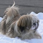 How to Tell If a Dog Is a Llaso Apso Dog or a Shih Tzu Dog