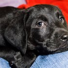 Black Lab Puppy Information
