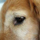 Eye Antibotics for Dogs