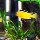 Differences Between Male & Female Electric Yellow Cichlids